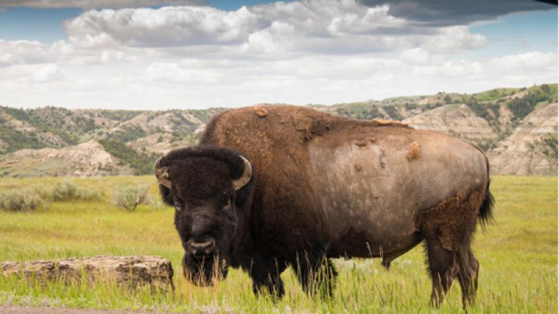 Wanted:  Bison Hunters in Grand Canyon National Park